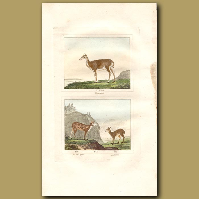 Antique print. Cariacou and Deer