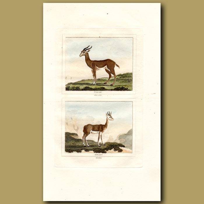 Antique print. Gazelle and Corine