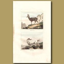 Chamois Goat and Buck of Juda