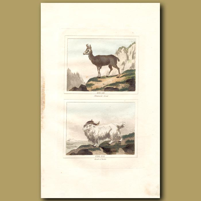 Antique print. Chamois Goat and Buck of Juda