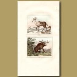 Reindeer and Elk