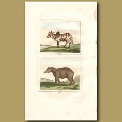 Zebu and Tapir