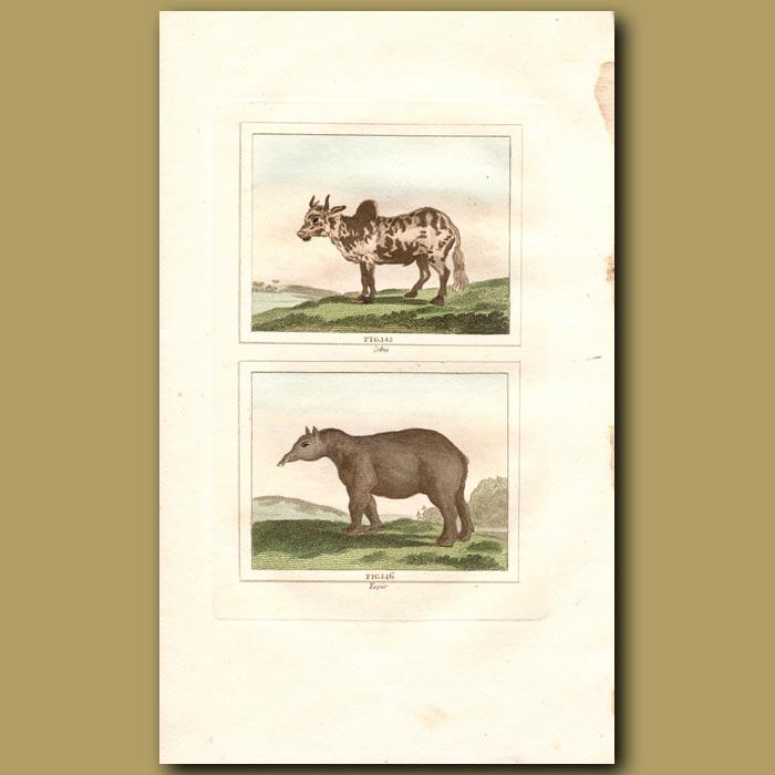 Antique print. Zebu and Tapir