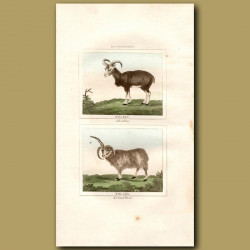 Mouflon and Iceland Ram