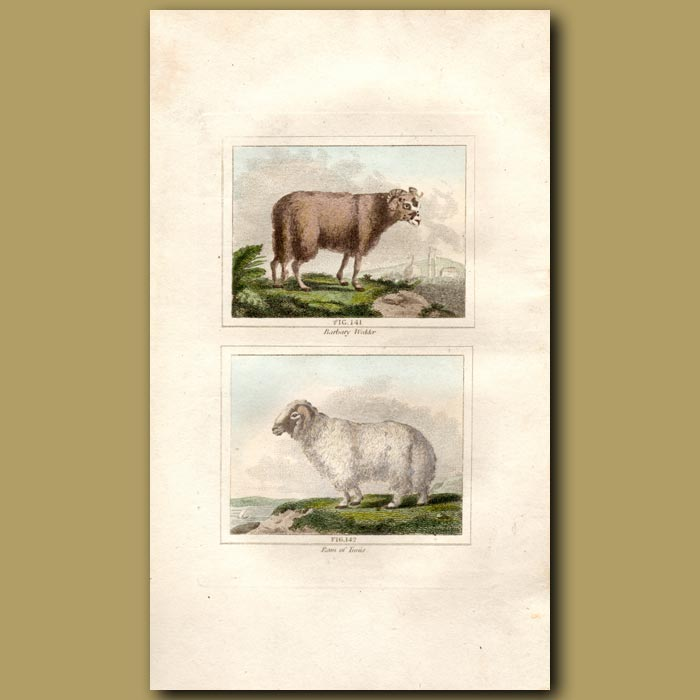 Antique print. Barbary Wedder and Ram of Tunis