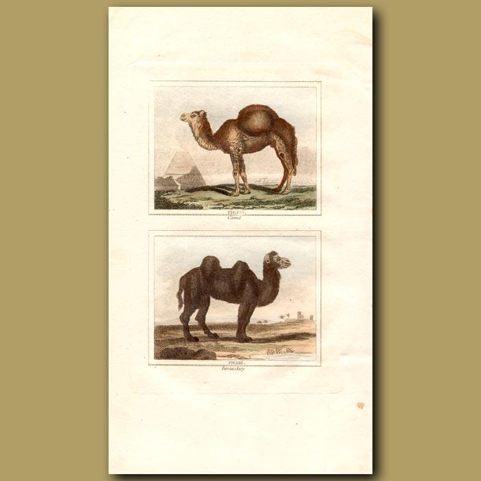 Antique print. Camel and Dromedary