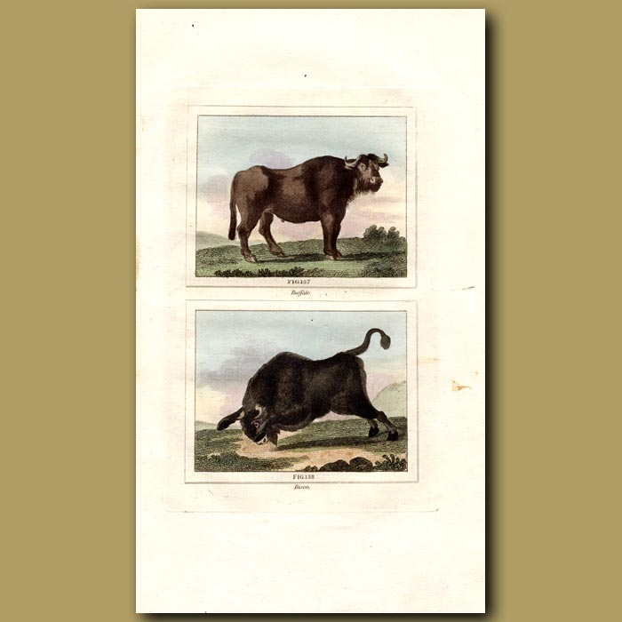 Antique print. Buffalo and Bison