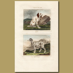 Spaniel and Harrier of Bengal