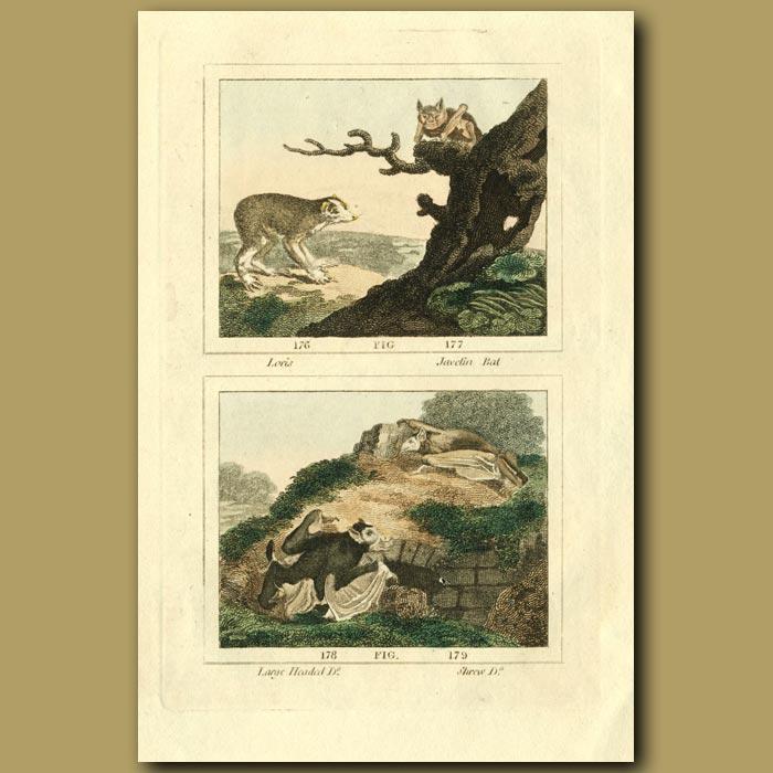 Antique print. Loris, Javelin Bat, Large Headed Bat And Shrew Bat