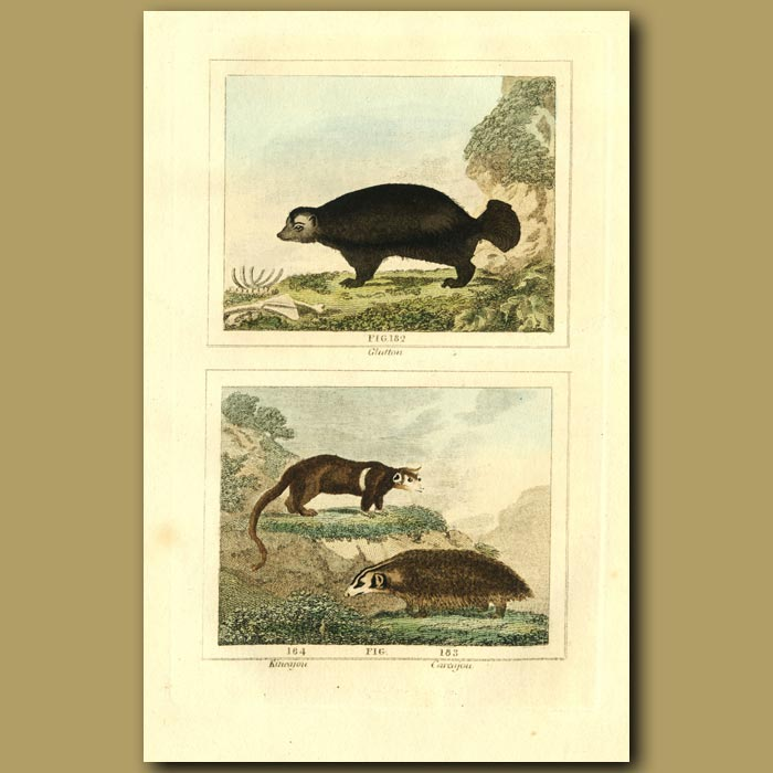 Antique print. Glutton (Wolverine), Kineajou And Carajou
