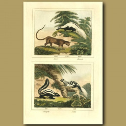 Potot (Wild Cat), Chinch (Skunk), Conepate (Striped Pole-Cat) And Zorille (Pole-cat)