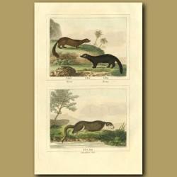 Vison (Marten) , Pecan (Pole-cat) And Canadian Otter