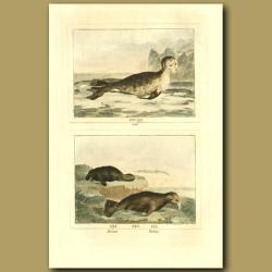 Seal, Manatee And Walrus
