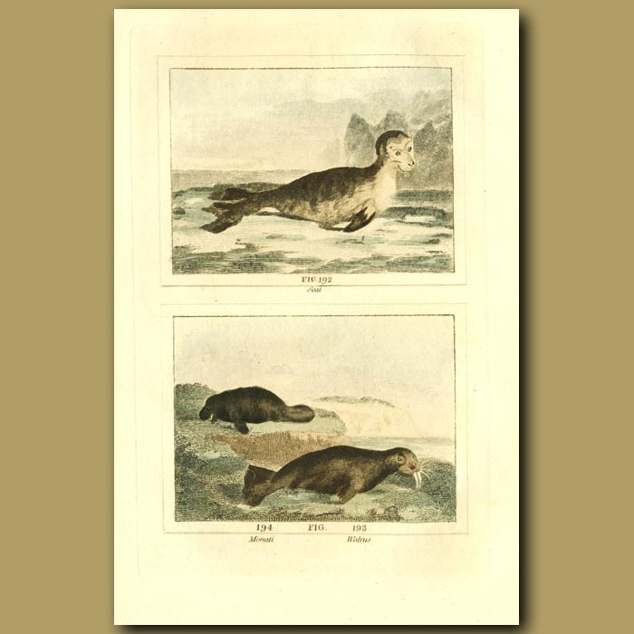 Antique print. Seal, Manatee And Walrus