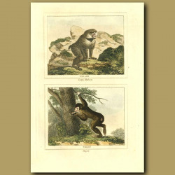 Large Baboon And Magot Or Barbary Ape