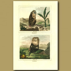 Mandrill And Ouanderou (Colobus Monkey)