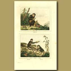 Maimon, Macacauq And Aignette Monkeys