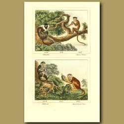 Mangabey, Chinese Bonnet, Malbrouk And Black-Banded Patas Monkeys