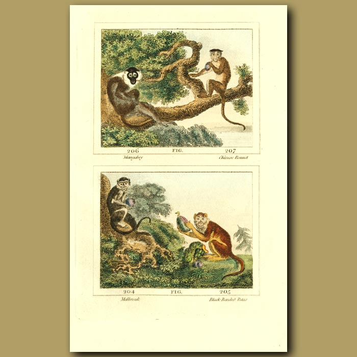 Antique print. Mangabey, Chinese Bonnet, Malbrouk And Black-Banded Patas Monkeys