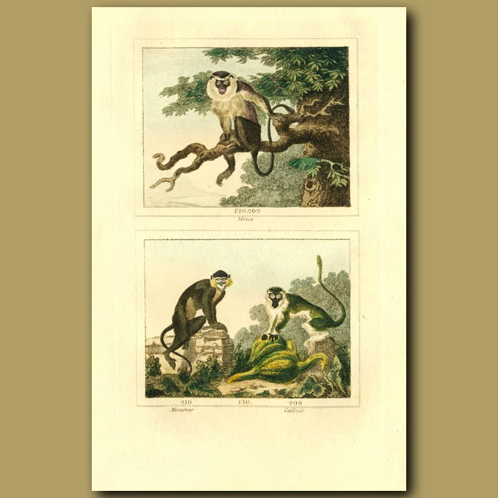 Antique print. Mona, Moustac And Caillitrix Monkeys