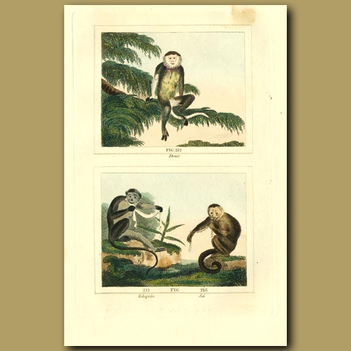 Antique print. Douc, Talapoin And Sai Monkeys