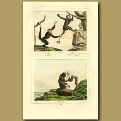 Coaila, Brown Capuchin And Saki Monkeys