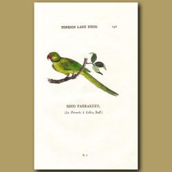 Ring Parakeet