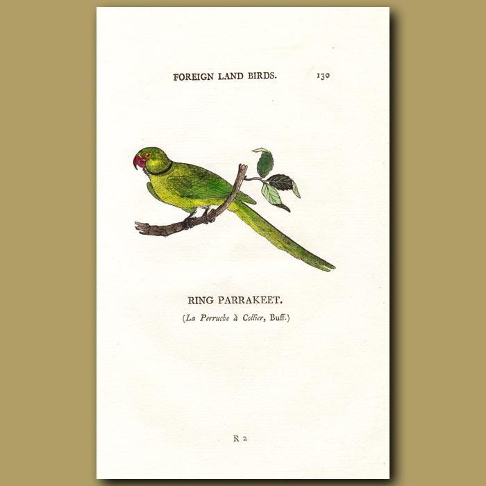 Antique print. Ring Parakeet