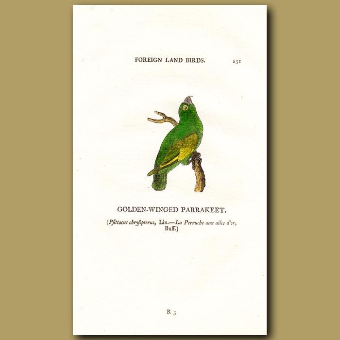 Antique print. Golden-winged Parakeet