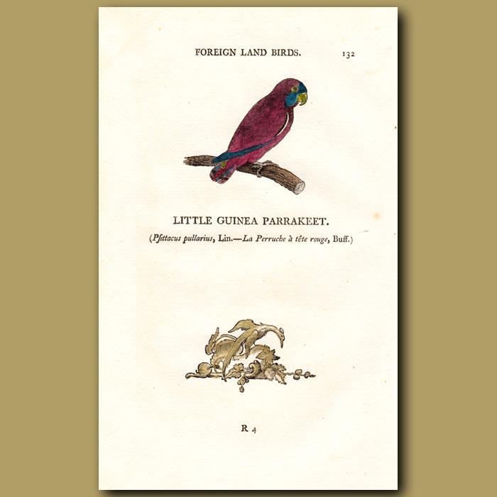 Antique print. Little Guinea Parakeet