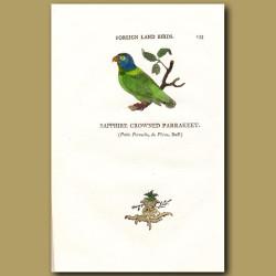 Sapphire Crowned Parakeet