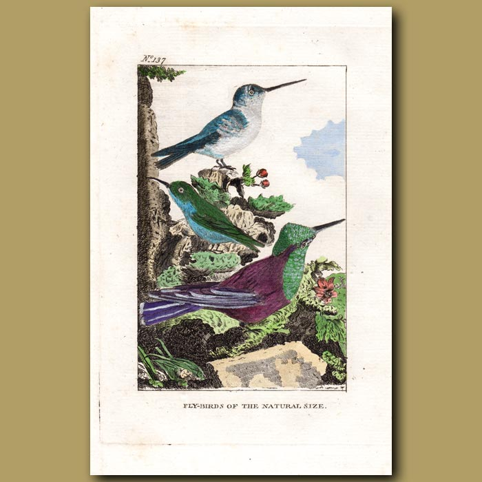 Antique print. Hummingbirds (Fly-birds of the natural size)