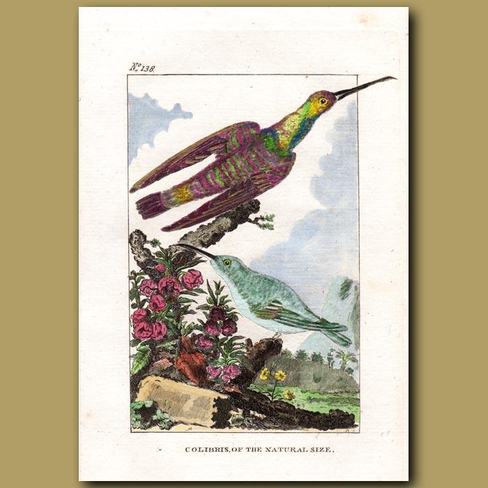 Antique print. Hummingbirds (Colibris of the natural size)
