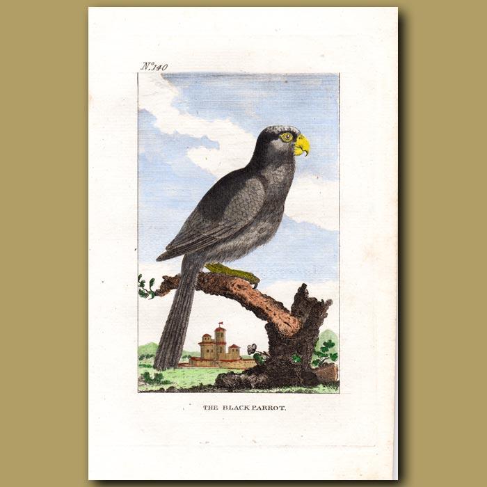 Antique print. The Black Parrot