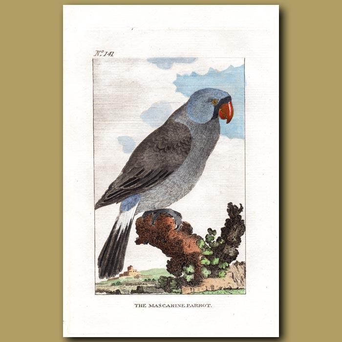 Antique print. The Mascarine Parrot (extinct)