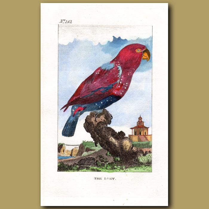 Antique print. The Lory (Lorikeet)
