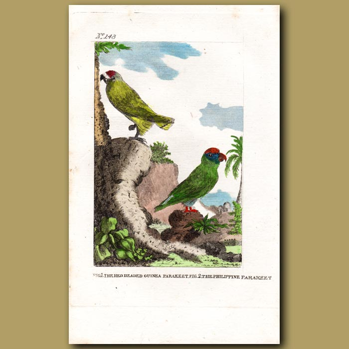 Antique print. The Red-headed Guinea Parrakeet and The Philippine Parrakeet