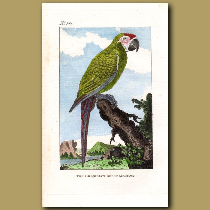 Antique print. The Brasilian Green Macaw