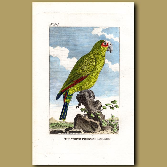 Antique print. The White-fronted Parrot