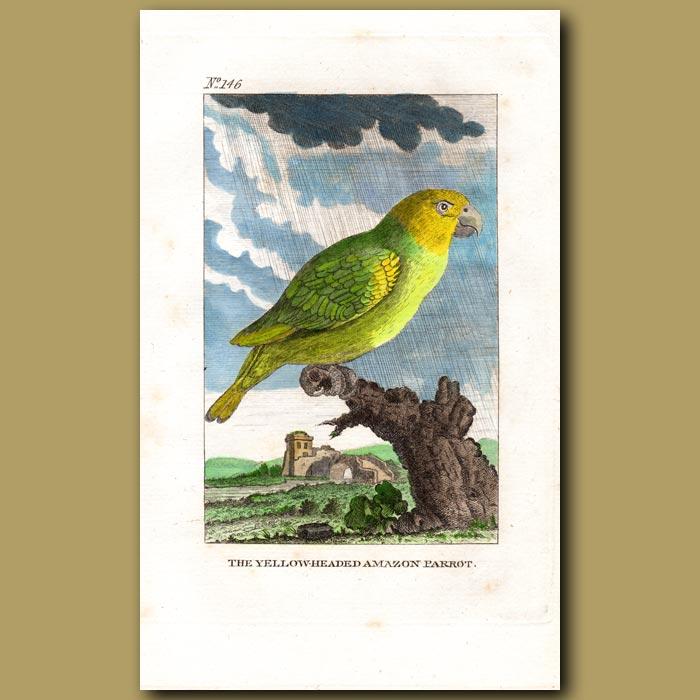 Antique print. The Yellow-headed Amazon Parrot