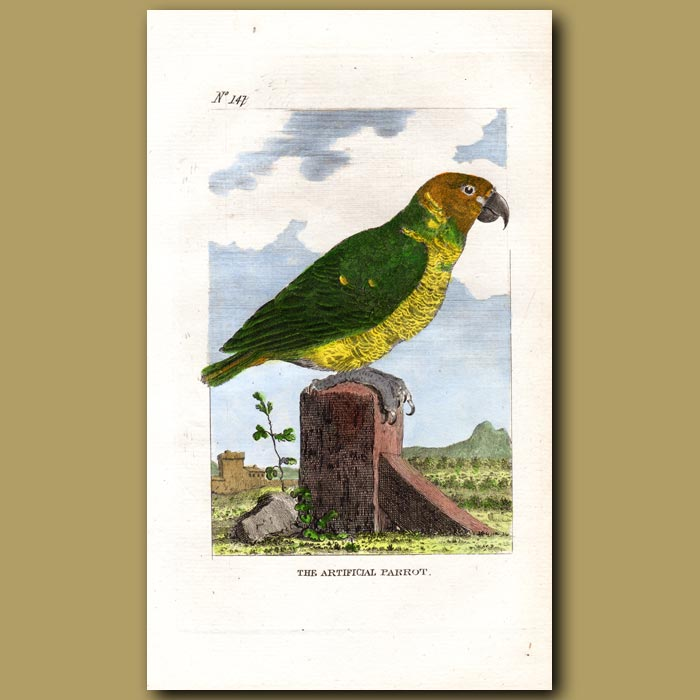 Antique print. Green Wing Macaw (The Artificial Parrot)