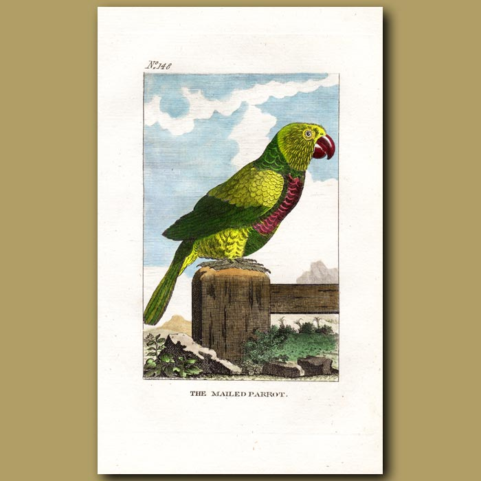Antique print. Variegated Parrot (The Mailed Parrot)