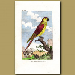Yellow-Face Parrot (The Illinois Parrot)