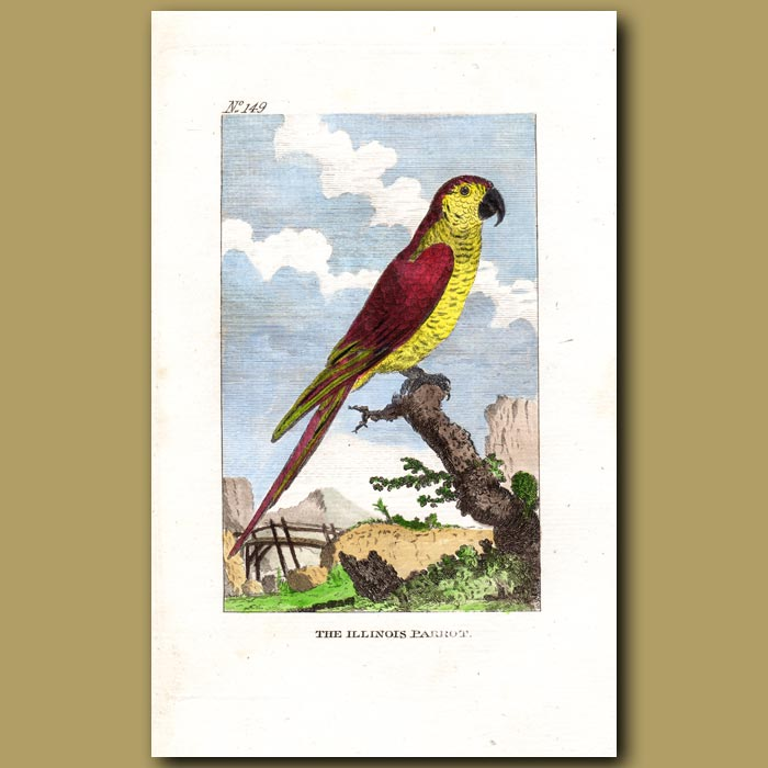 Antique print. Yellow-face Parrot (The Illinois Parrot)