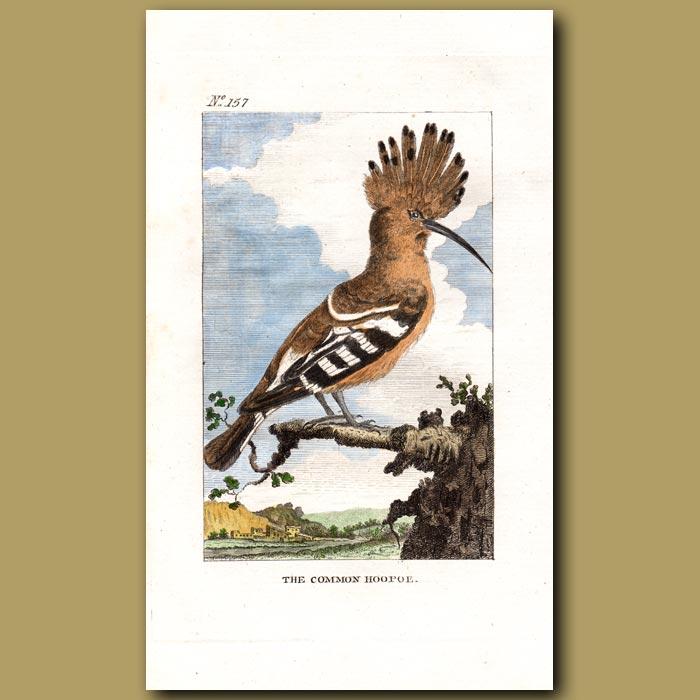 Antique print. The Common Hoopoe