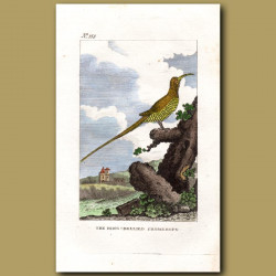 Sugarbird (The Ring-Bellied Promerops)