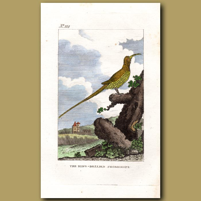 Antique print. Sugarbird (The Ring-bellied Promerops)