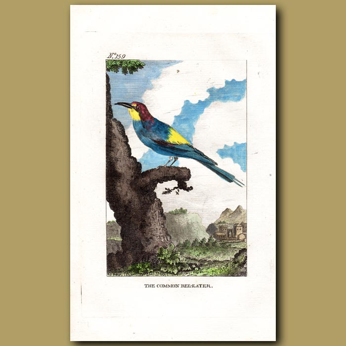 Antique print. The Common Bee Eater