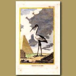 Egyptian Ibis (White Ibis)