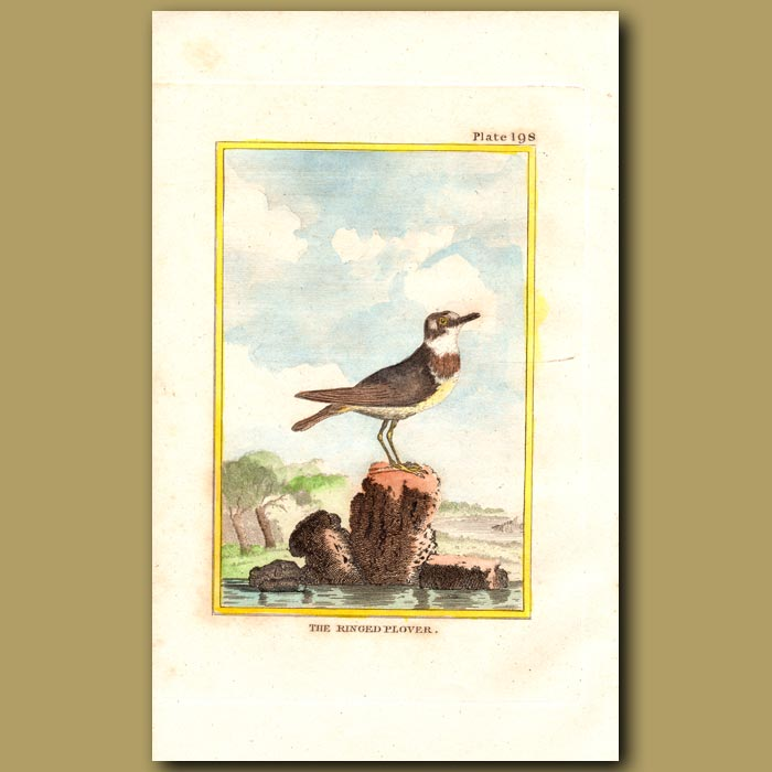 Antique print. Ringed Plover